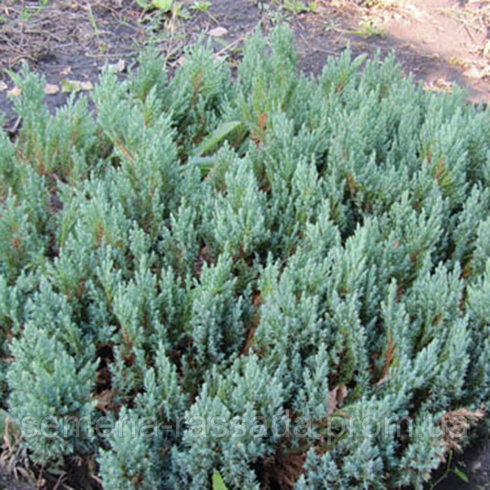 Можжевельник горизонтальный Blue Forest (3 л, 15-20 см)