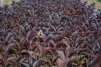 Вейгела цветущая Alexandra (2,4 л, 15-20 см)