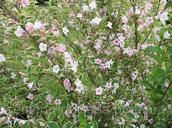 Вейгела цветущая Splendid (3 л, 20-25 см)