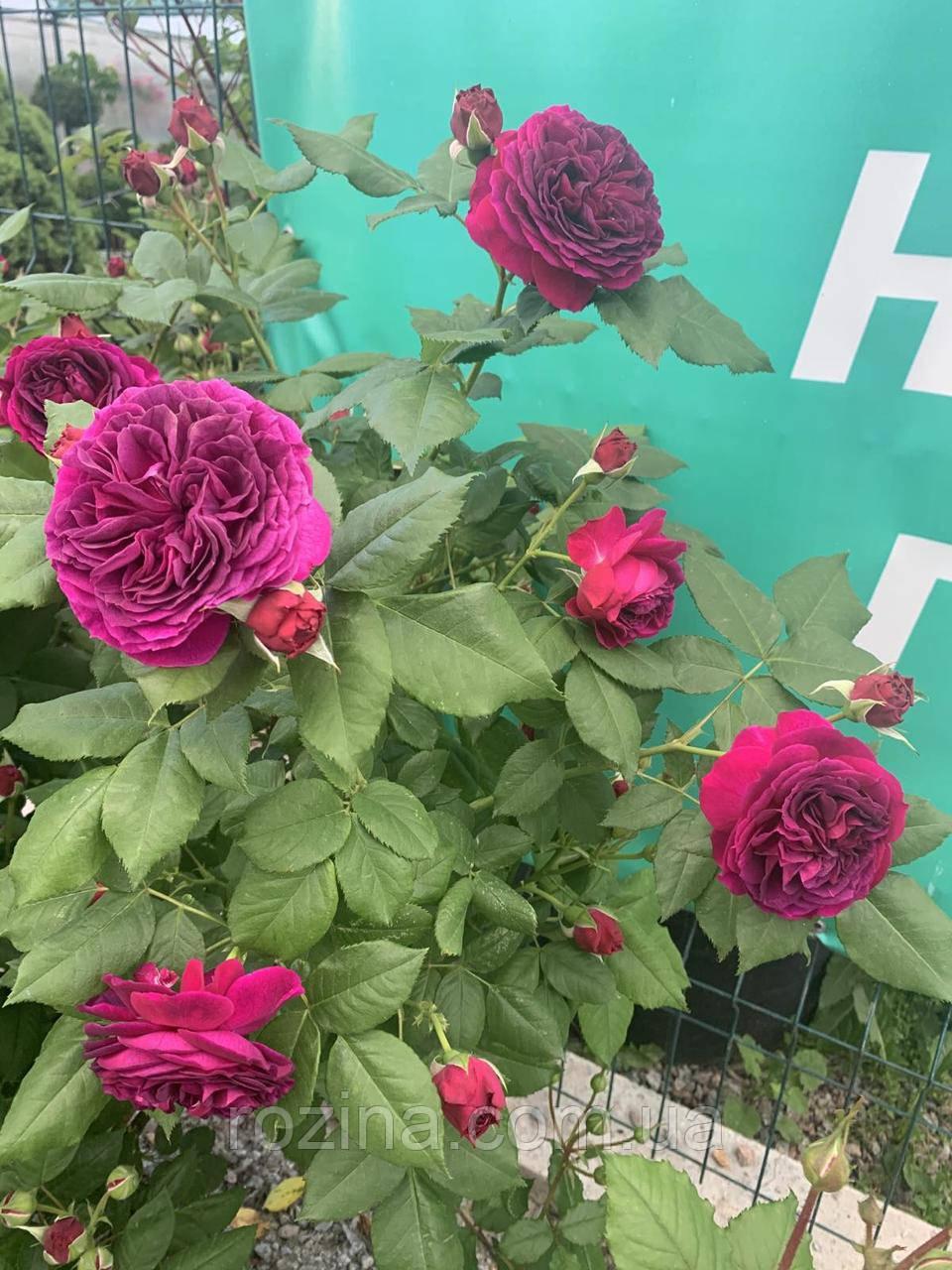 """Саджанці троянди """"Манстед Вуд"""""""