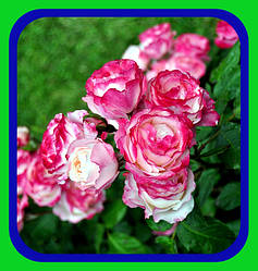 Роза Плетистая - Парковая