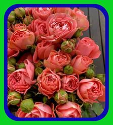 Роза Бордюрная - Спрей - Миниатюрная