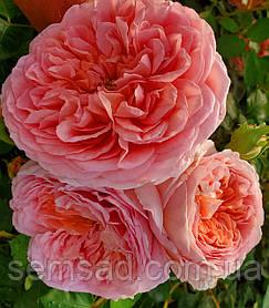 Роза Абрахам Дерби ( саженцы )