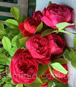 Роза Бенджамин Бриттен ( саженцы )