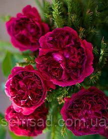 Роза Вильям Шекспир 2000 ( саженцы )
