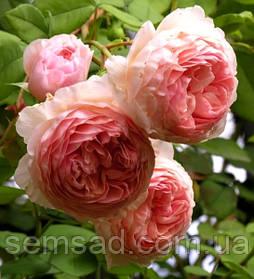 Роза Вильям Морис ( саженцы )