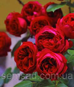Роза парковая Ред Эден ( саженцы )