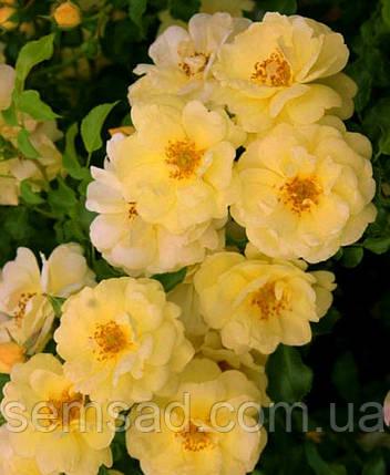 Роза Санни Роуз ( саженцы ), фото 2