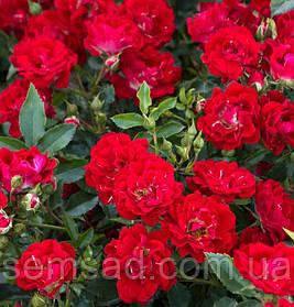 Роза Ред Булл ( саженцы )