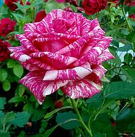 """Саджанці троянд """"Пінк Інтуішн"""", фото 1"""