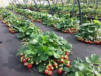 Використовуємо агроволокно: для полуниці і збереження врожаю
