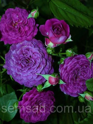 Троянда Нью Ейдж - флорибунда (саджанці)