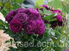 Троянда Нью Ейдж - флорибунда (саджанці), фото 2