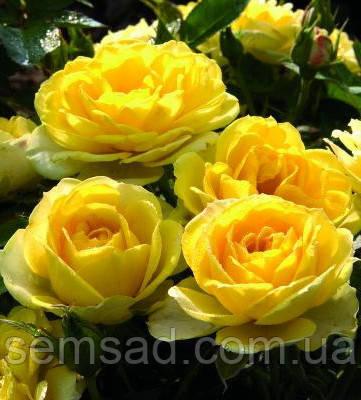 Роза миниатюрная Желтая Кукла  ( саженцы )