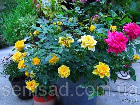 Роза миниатюрная Желтая Кукла  ( саженцы ), фото 2