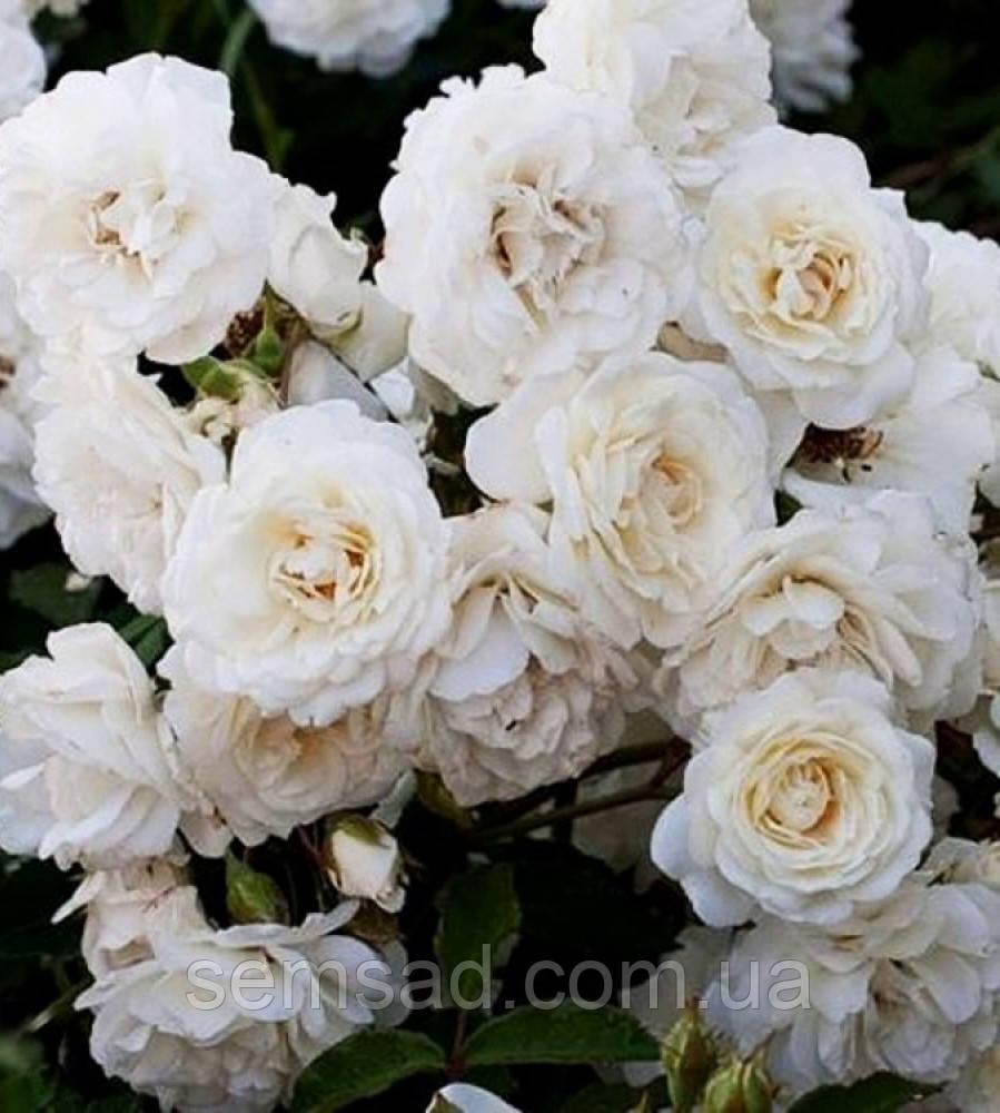 Роза миниатюрная Вайт Джем  ( саженцы )