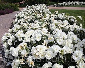 Роза миниатюрная Вайт Джем  ( саженцы ), фото 2