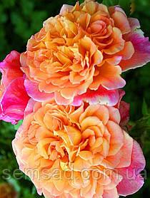 Роза плетистая Алоха ( саженцы )