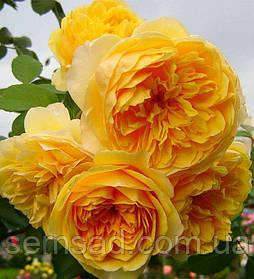 Роза английская Грехам Томас ( саженцы )