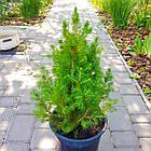 Саженцы Ели канадской Коника (Picea glauca Conica) - 4-х летняя, фото 2