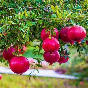 Саджанці Граната Гюлоша рожева - середнього строку дозрівання, крупноплідна, тонкошкірий
