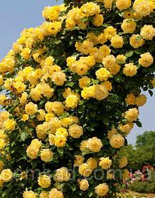 Роза плетистая Голдштерн ( саженцы )