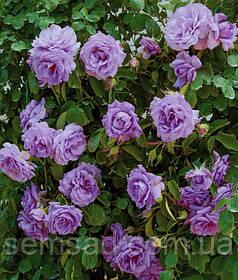 Роза плетистая Индиголета  ( саженцы )
