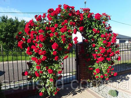 Троянда плетиста Нахеглут (саджанці), фото 2
