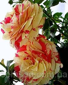 Роза плетистая Ванила Фрайз   ( саженцы )
