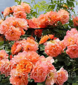 Роза плетистая Вестерленд ( саженцы )