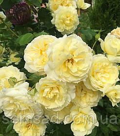 Роза плетистая Эльф ( саженцы )