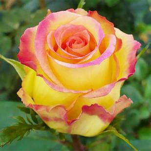Саженцы чайно-гибридной розы Эмбиянс (Rose Ambiance)