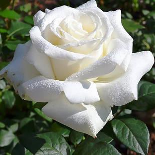 Саженцы чайно-гибридной розы Анастасия (Rose Anastasia)
