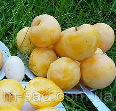 Слива диплоидная То Че Сан(самоплодный), фото 3