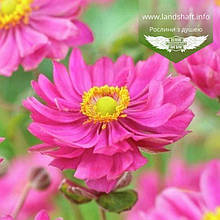Anemone hupehensis 'Margarete', Анемона хубейська 'Маргарет',C2 - горщик 2л
