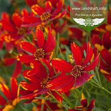 Coreopsis hybrida 'Ladybird', Кореопсис 'Ледібьорд',C2 - горщик 2л