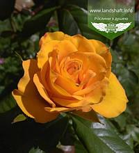Rosa 'Kerio', Троянда чайно-гібридна 'Керіо',PA80-100,BR+C10 - кор./горщ. 10л