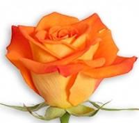 Роза чайно-гибридная Миракл