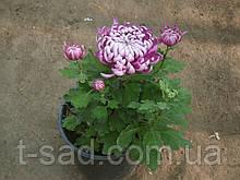 Саженцы хризантема Cosmo Purple (Космо Перпле) с3