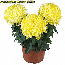 Саженцы хризантемы Cosmo Yellow (Космо Йеллоу) р9