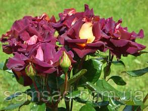 Роза чайно-гибридная Эдди Митчелл ( саженцы ), фото 2