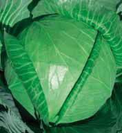 Семена капуста Белокочанная Копенгаген маркет 10 г.  Коуел Германия