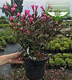 Weigela florida 'Victoria', Вейгела квітуча 'Вікторія',C2 - горщик 2л, фото 3