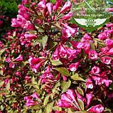 Weigela florida 'Victoria', Вейгела квітуча 'Вікторія',C2 - горщик 2л, фото 4