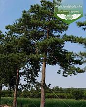 Pinus sylvestris, Сосна звичайна,P7-Р9 - горщик 9х9х9