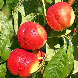 Саженцы Нектарина Рубиновый-8 - поздний, крупноплодный, урожайный