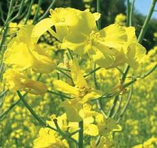 Семена озимого рапса Лембке