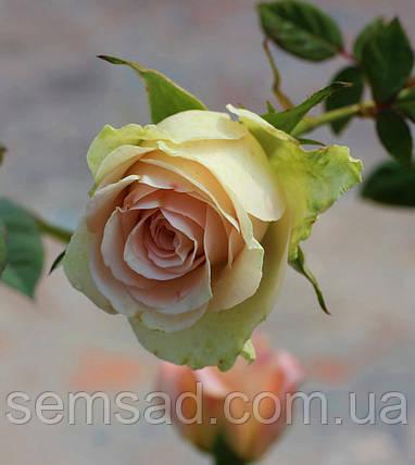 Троянда чайно-гібридна Ла Перла (саджанці), фото 2