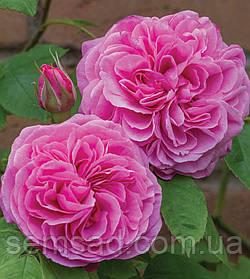Роза английская Гертруда Джекилл ( саженцы )