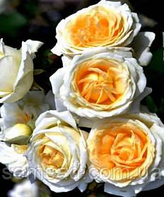 Роза плетистая  Мануэль Кановас ( саженцы )